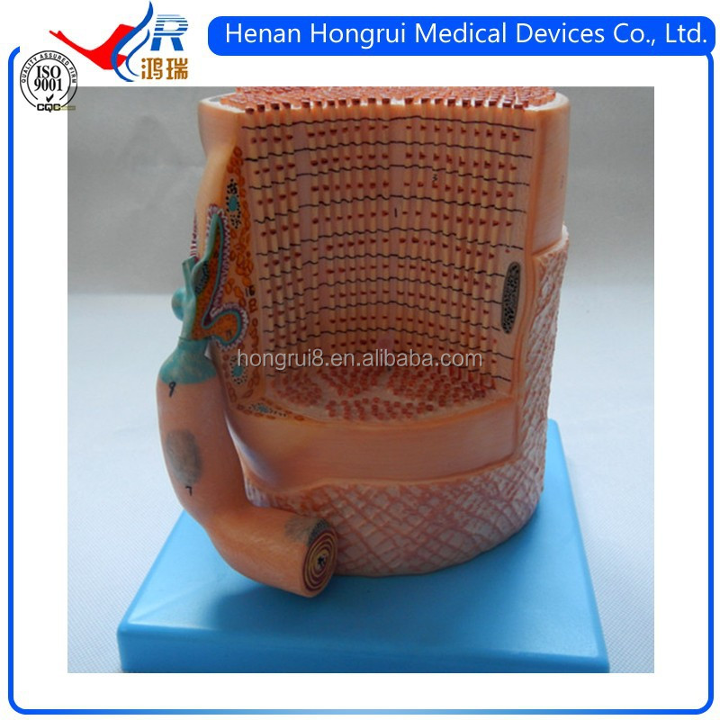 Iso Anatomy Skeletal Muscle Fibers Model With Motor End-plate - Buy ...