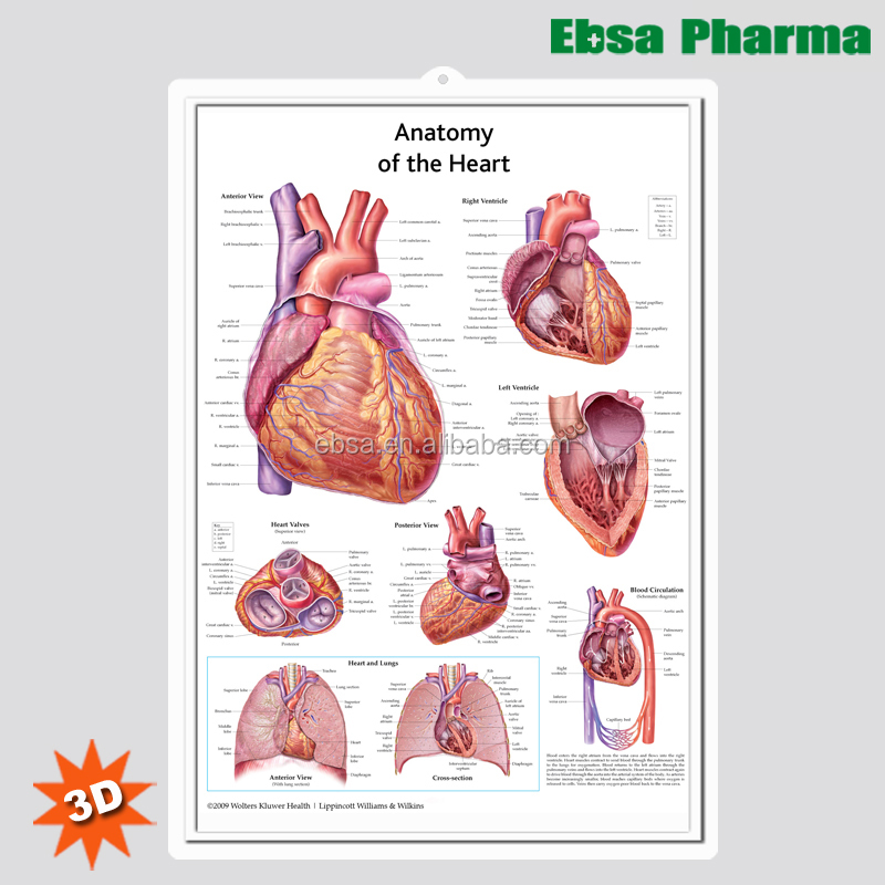 3d Medical Human Anatomy Heart Wall Charts Poster Buy 3d