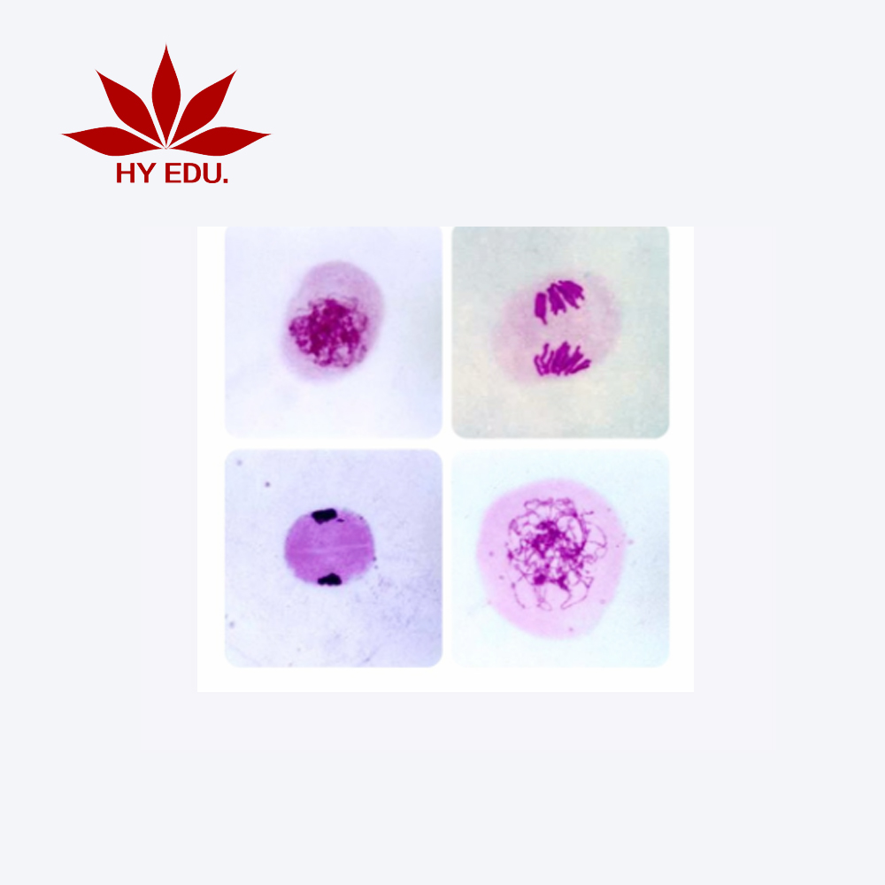 high quality meiosis prepared glass microscope slides division slides for educational supplies