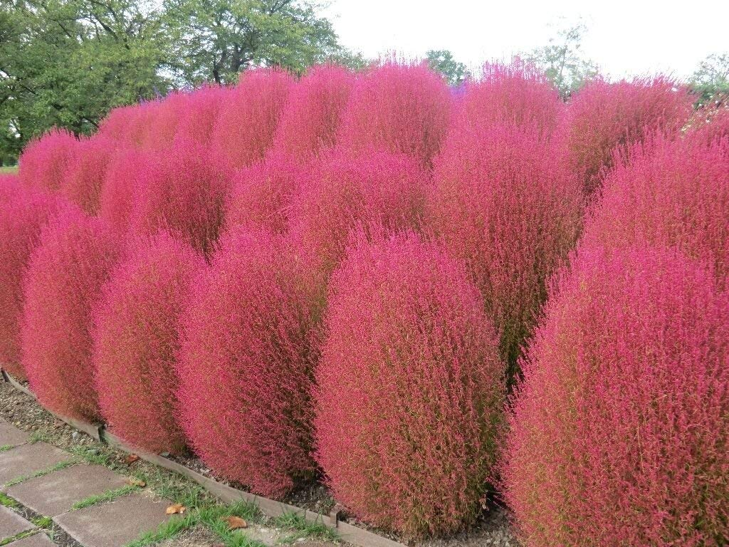 500 Kochia Scoparia Burning Bush Grass Rapid Grow Hardy Summer
