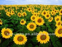 Free shipping wholesale handmade painting pictures of sunflowers