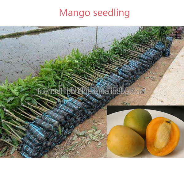 Engrafted 50cm above Alphonso Mango seedling