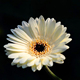 white gerberas flowers for floral wholesale From Kunming