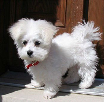 Maltese Puppies - Buy Puppy Product on Alibaba com