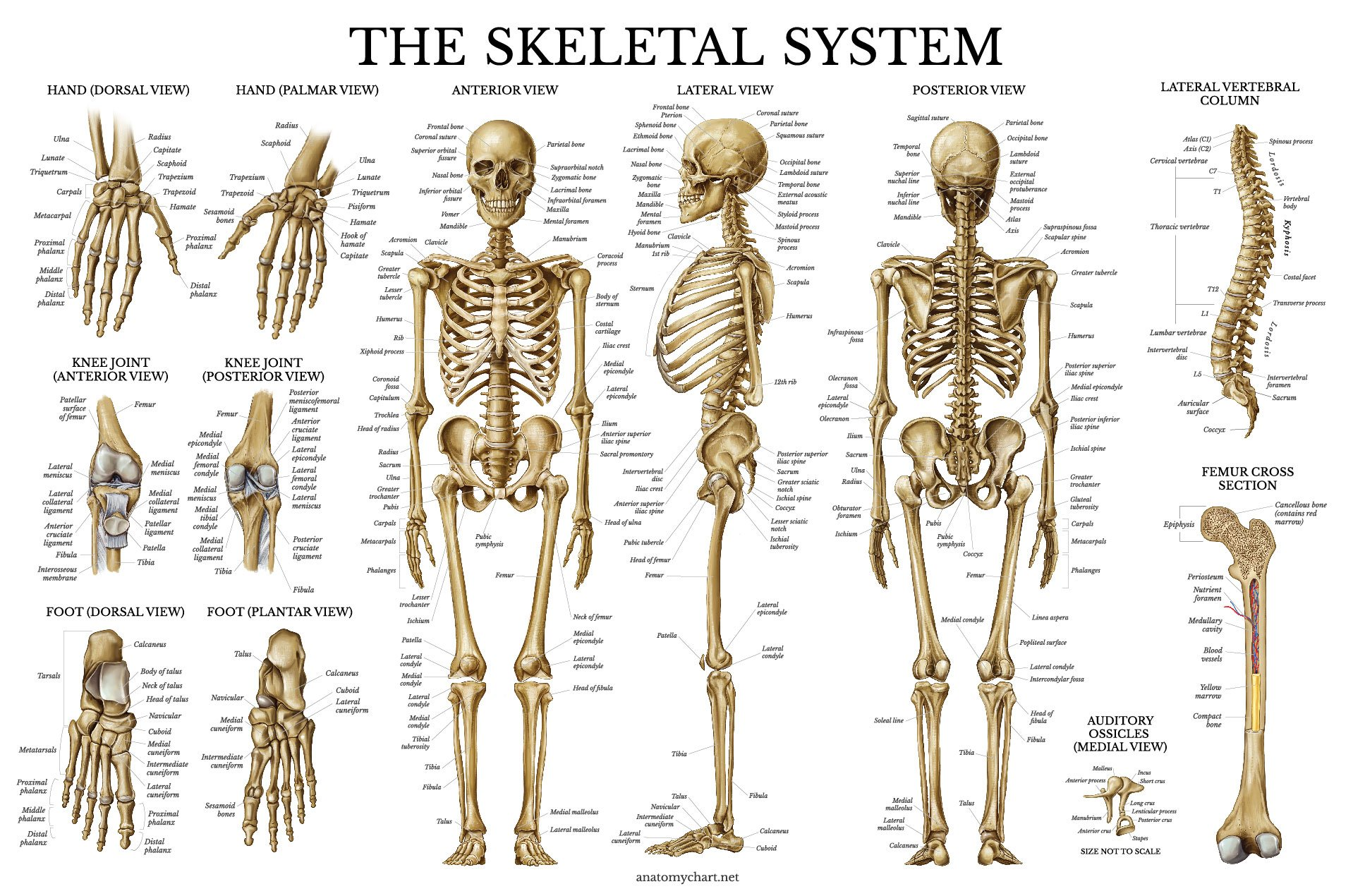 Cheap Human Skeletal System Find Human Skeletal System Deals On
