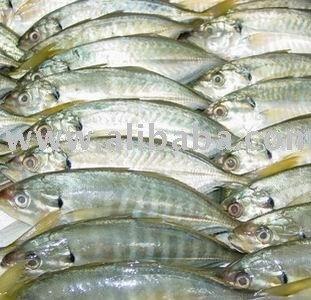 Selar Frozen Fish - Buy Frozen Fish Product on Alibaba com