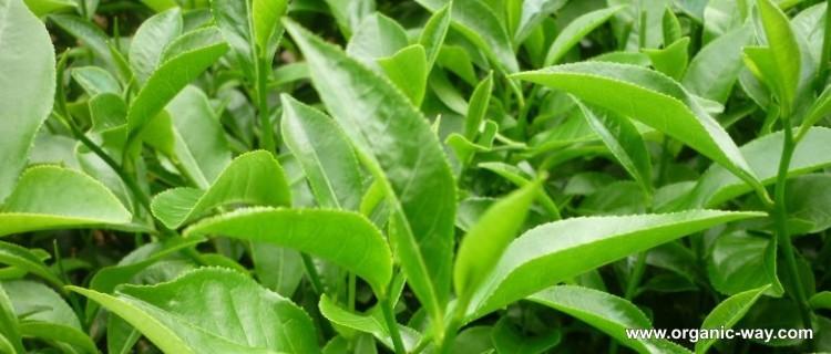 EU NOP Certified Matcha Tea Organic - 4uTea | 4uTea.com