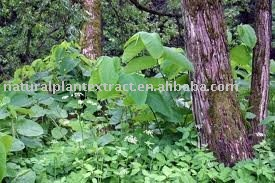 Giant knotweed P.E. Resveratrol 50%,98%
