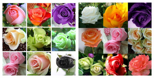 2020 Latest China Rose Flower Seeds For Sowing