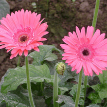 2017 Touchhealthy supply Hoge kieming hybrid <span class=keywords><strong>gerbera</strong></span> jamesonii zaaigoed