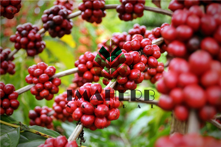 Factory Supply Black Elderberry Fruit Powder