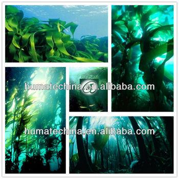 dried seaweed extract fertilizer sea kelp powder raw material laminaria japonica