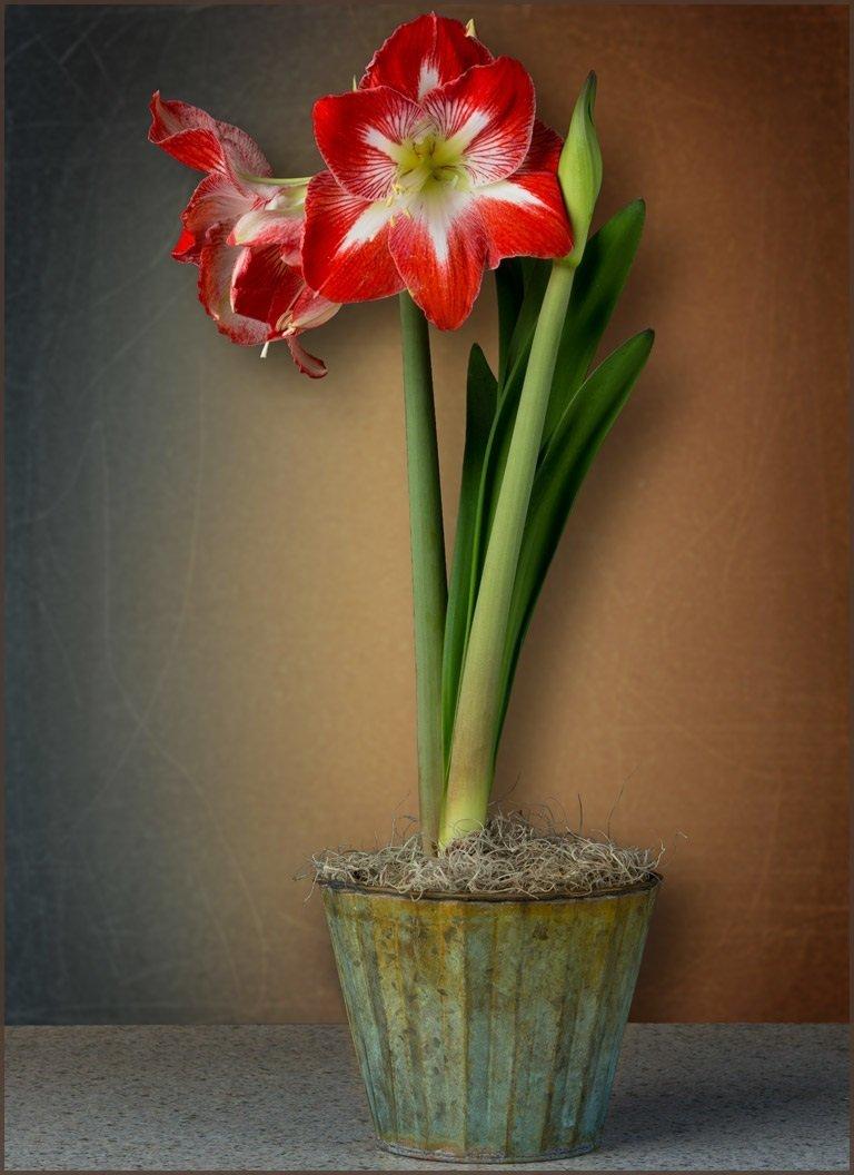 Cheap Amaryllis Bulbs Sale Find Amaryllis Bulbs Sale Deals On Line