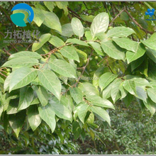 Pure pygeum africanum bark extract Total sterols