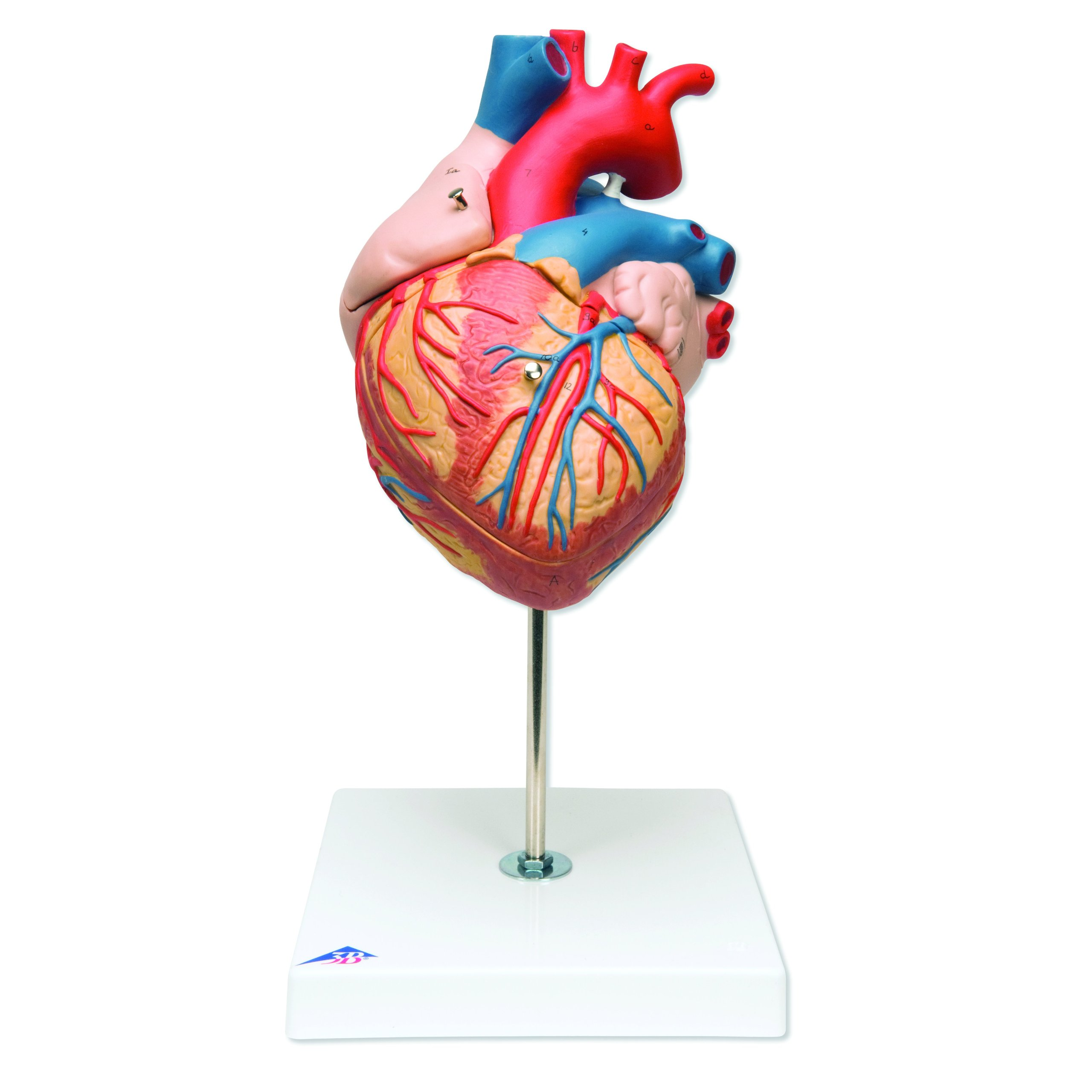 Buy 3B Scientific G12 Human Heart Anatomy Model 2 Times Life-Size in ...