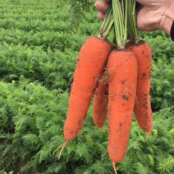no206 helinong hybrid carrot seeds vegetable seeds for sale