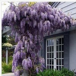 10 seeds pack hot selling Purple Wisteria Flower Seeds for DIY home garden