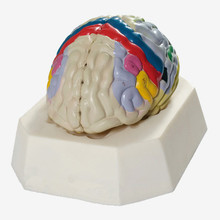 Cerebral Cortex Partition Model,brain model