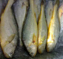 FROZEN Golden POMFRET/PACU Fish WHOLE ROUND