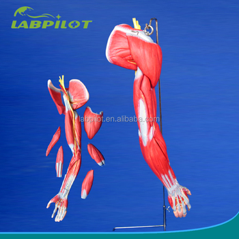 Detailed 6 Parts Upper Limb Muscles Anatomical Model Buy Human