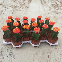 Indoor palnts Mini red cactus tropics plants for home decoration