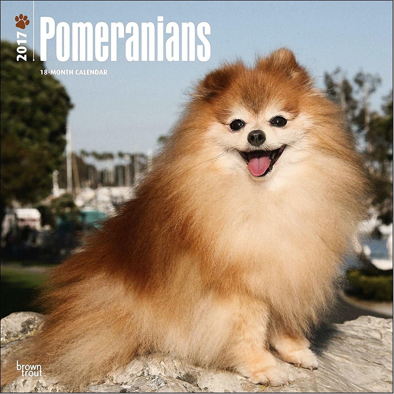 Pomeranians Calendar 2017 - Deluxe Wall Calendar (12x12)