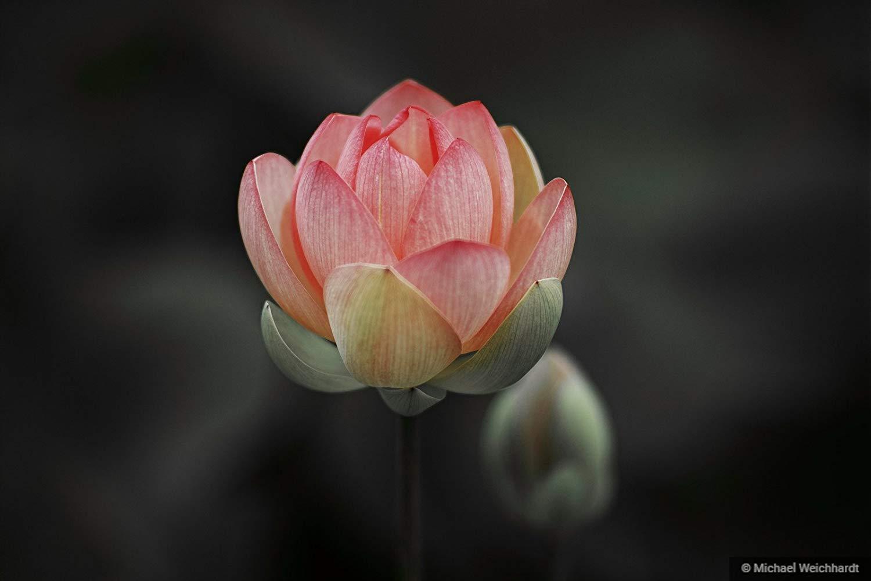 Lotus Flower Print, Soft Colors, Professional Photography Print, Nature Wallpaper, Paper & Canvas Prints, Flower Photography