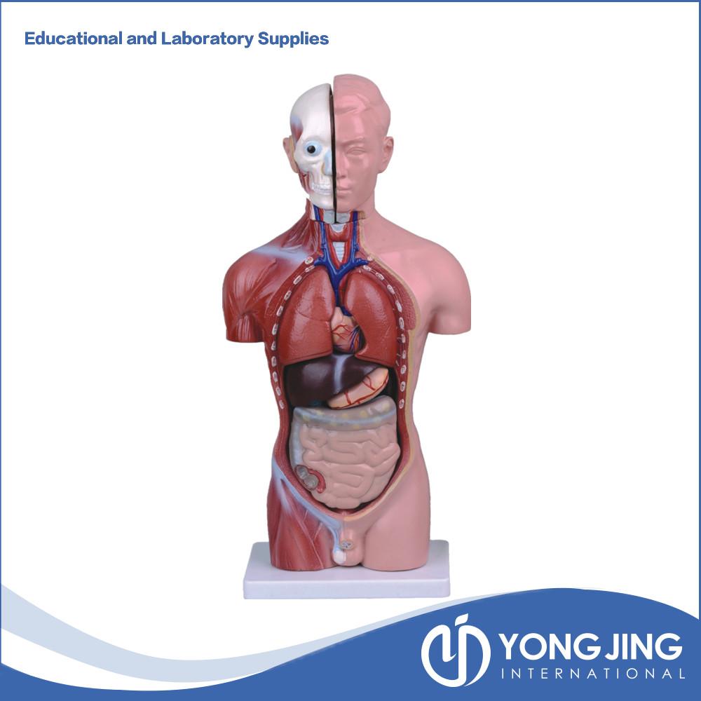 Human torso anatomy