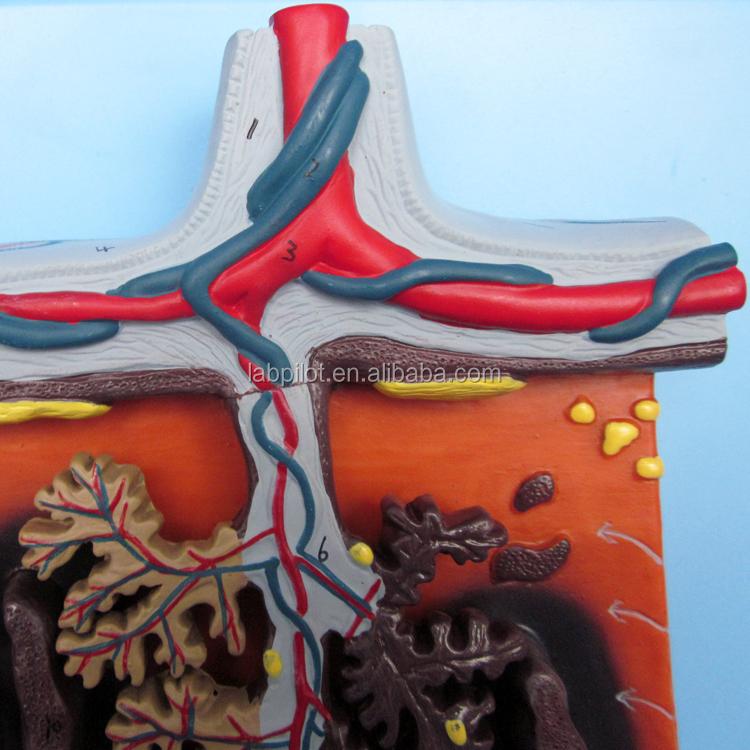 Anatomía médica modelo de enseñanza 3D Placenta tejido y el cordón ...
