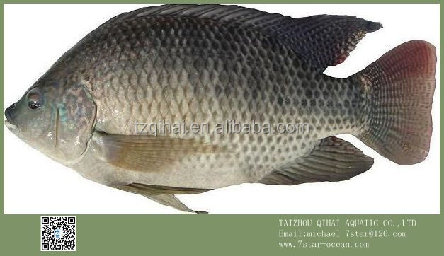 Wholesale Products Frozen Black Tilapia Fish On Stock 10kg 300-500g/pc