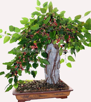 Mulberry Natural Bonsai Sale Buy Natural Bonsai Sale Mulberry Bonsai Mulberry Natural Bonsai Sale Product On Alibaba Com
