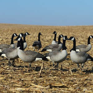 outdoor goose decoy flocked full-body canada goose decoys for goose hunting
