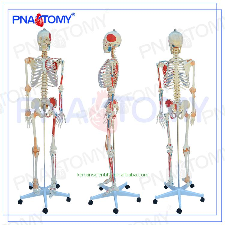 Horse Skeleton Model, Horse Skeleton Model Suppliers and ...