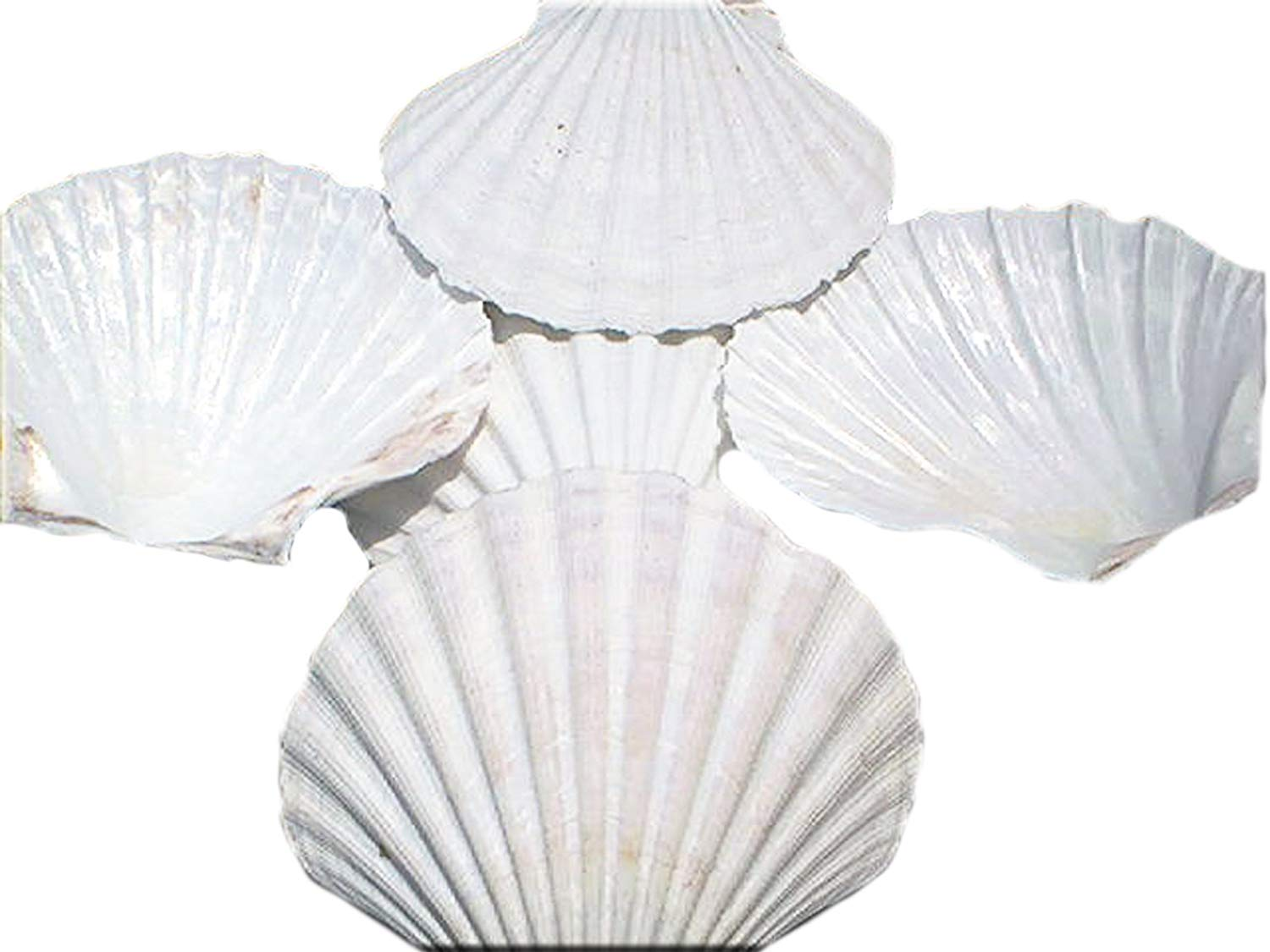 """Set of 4 X-Large White Baking Scallop (4""""-4.5""""/102-114 mm) Restaurant Quality Real Seashells Beach Wedding Coastal Crafts and Decor - Florida Shells and Gifts Inc."""