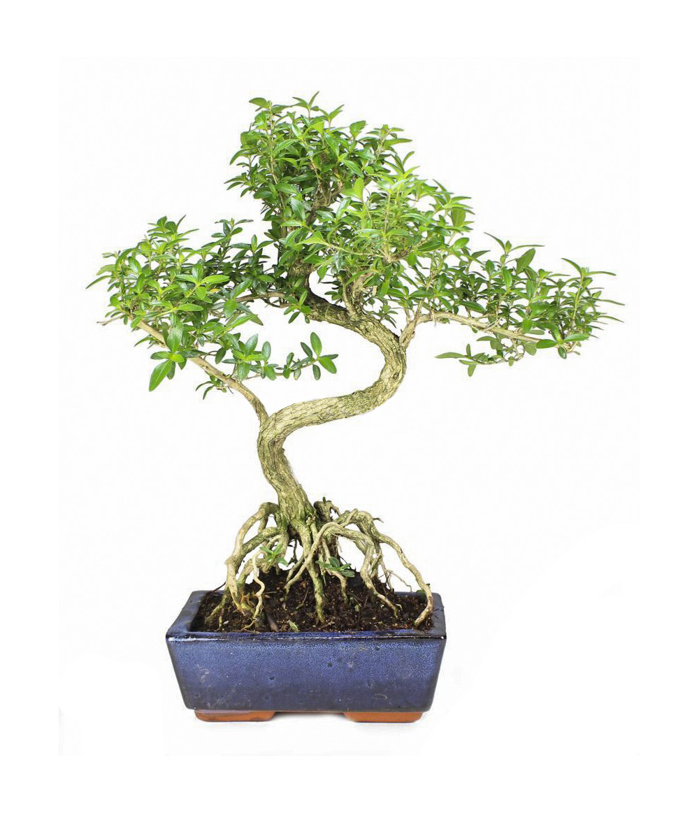 Live Plant Golden Side Serissa Japonica Snow In June Bonsai Buy Bonsai Live Plant Serissa Japonica Product On Alibaba Com