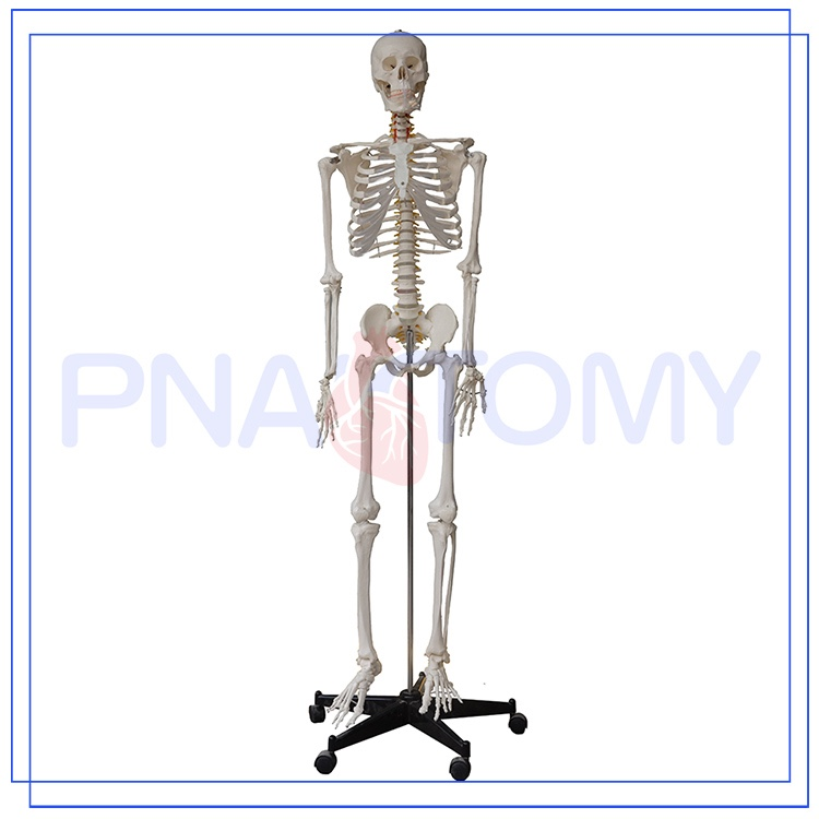 Promotional Human Skeleton Model Labeled With Good Price Buy Human