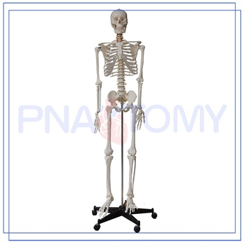 Promotional Human Skeleton Model Labeled With Good Price - Buy Human ...
