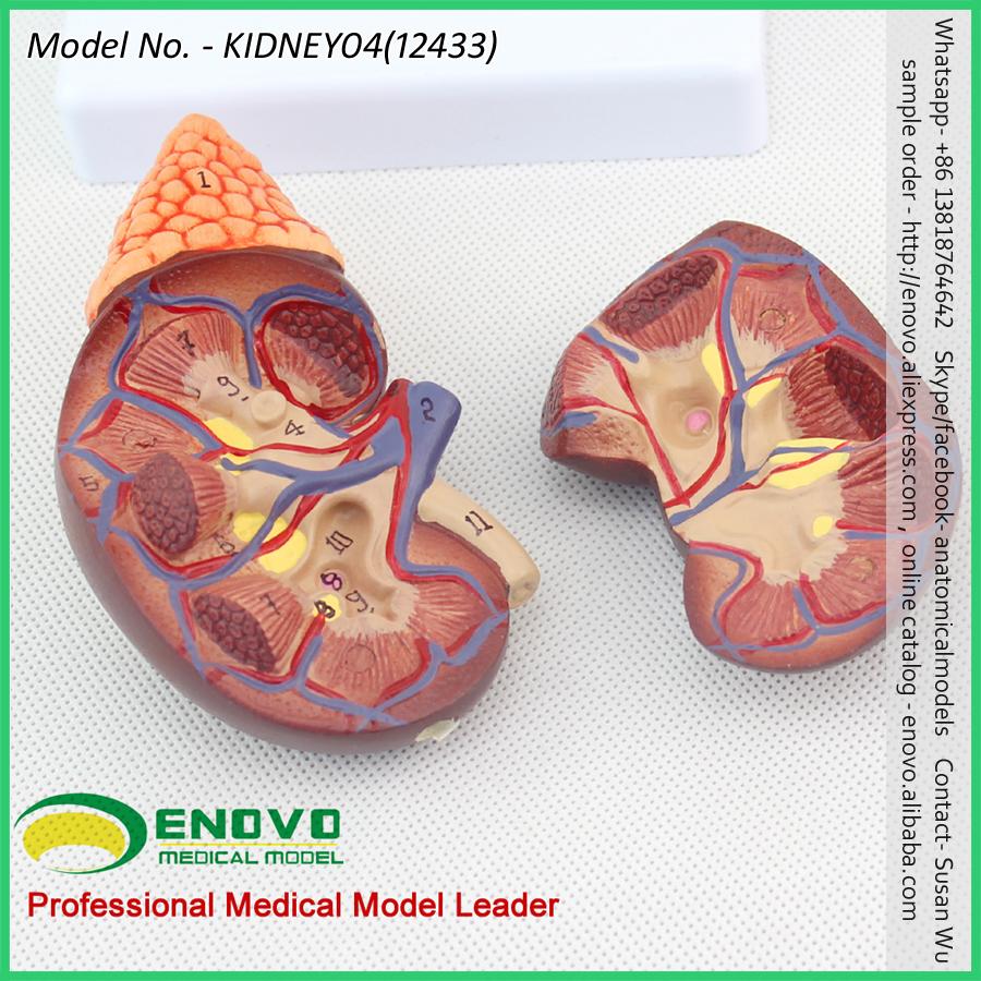 VENDER 12433 em Tamanho Natural Modelo de Anatomia Renal Normal ...