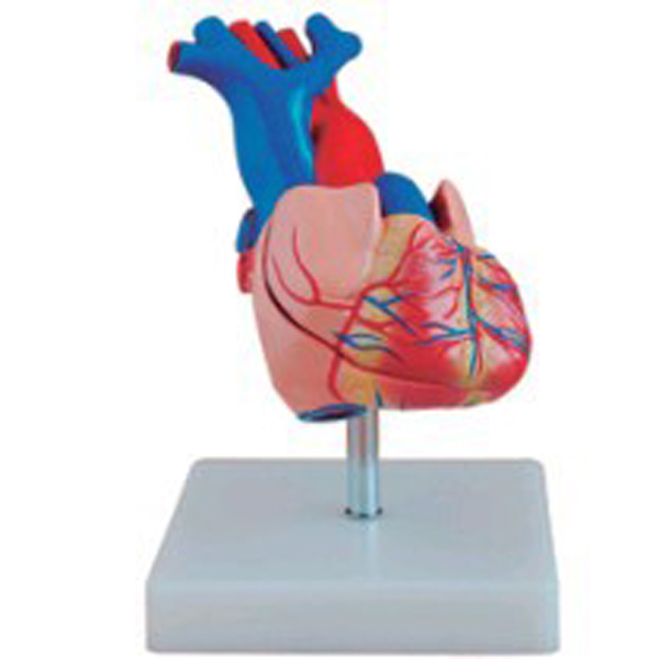 Medical Science Two Parts Human Heart Anatomy Model - Buy Heart ...