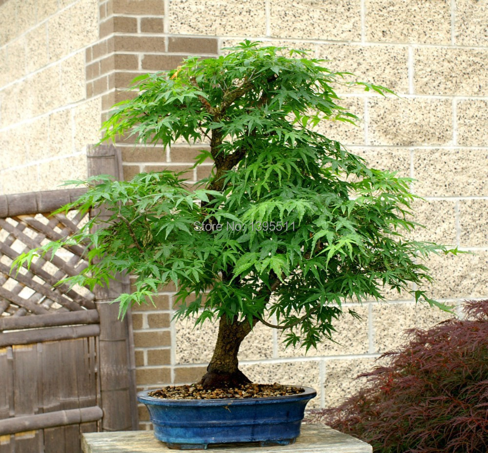 20 Japanese Red Maple Tree Seeds Get New Fresh Seeds To Plant Bonsai Tree Raytfoyw 44