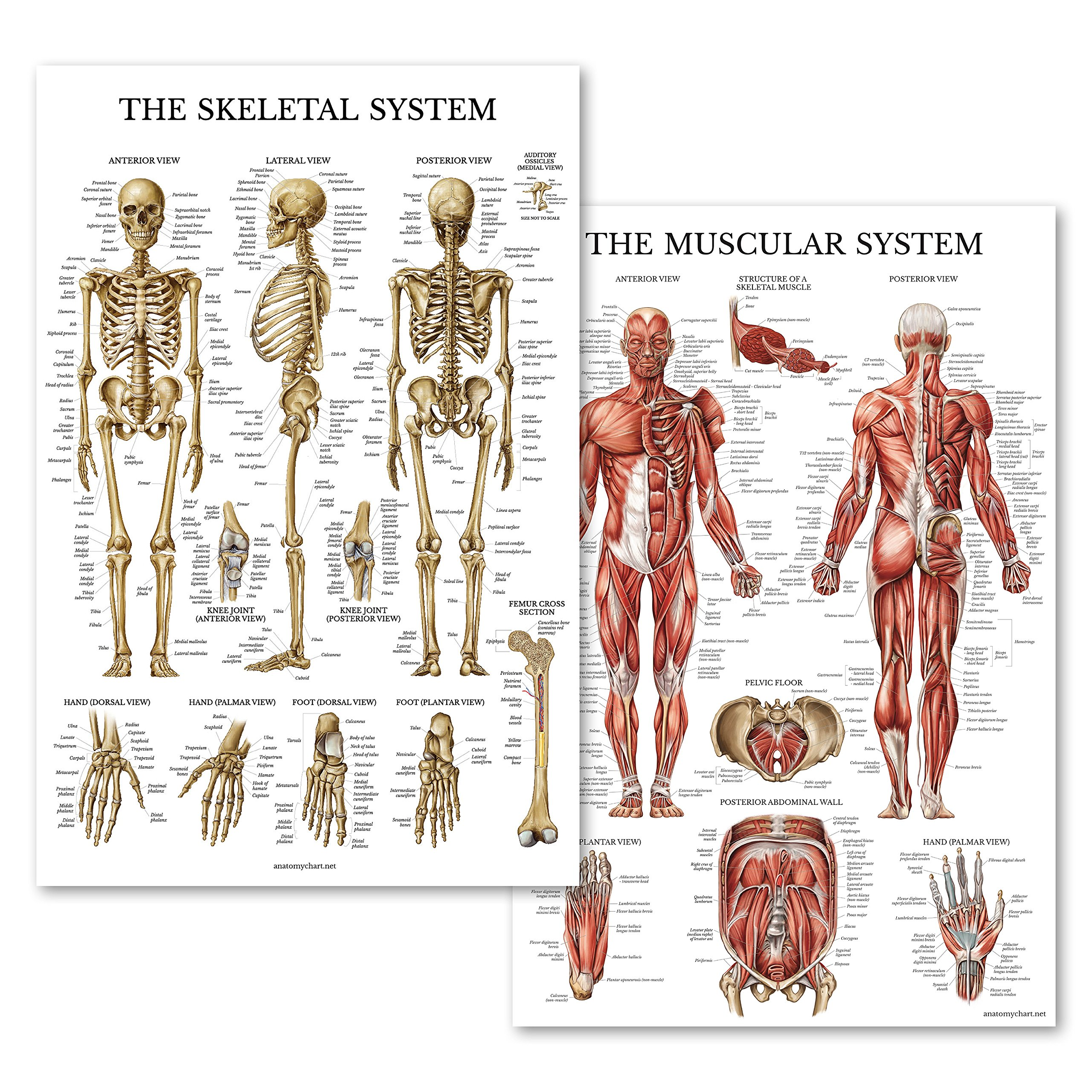 Cheap Skeletal System Human Find Skeletal System Human Deals On