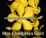 BB Orchids, Orchid plants fresh from Thailand : Chaopraya Gold