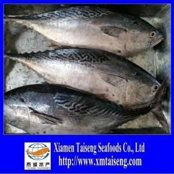 Eastern little tuna - photo#41