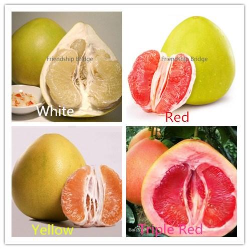 Honigpomelo Pomelo Citrus maxima Frische Ernte 15 Samen