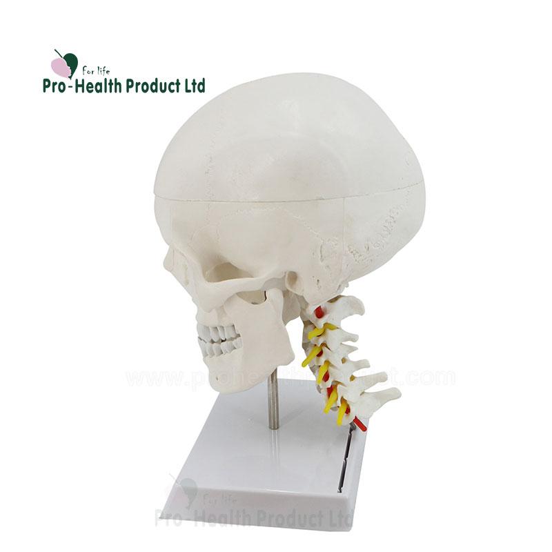 Venta al por mayor columna vertebral maqueta-Compre online los ...