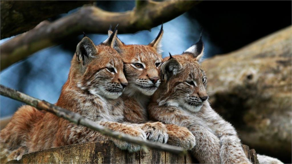 nature animals lynxes Home Decoration Canvas Poster