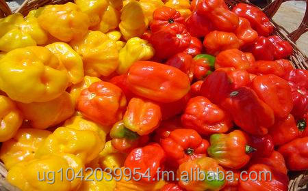 scotch bonnet hot pepper