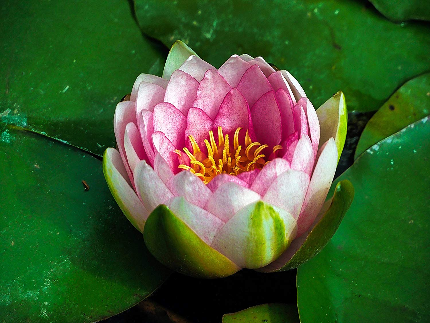 Lotus Flower Paper Print, Natural Vibrant Picture, Professional Photography Print, Summer Nature Wallpaper, Professional Prints, Photography