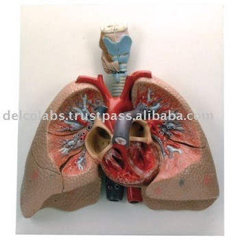 Human Lungs With Heart Models Buy Human Lungs Modelanatomical