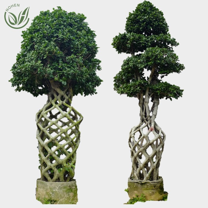 Groothandel live natuurlijke grote of grote microcarpa boom bonsai plant outdoor indoor landschap oramental decoratie nursery of